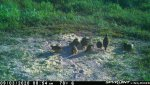 F15 - Male quail with 11 chicks - 090320.jpg