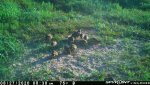 F15 - Male quail with 11 chicks - 082720.jpg