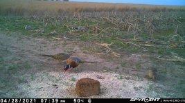 042821 - F1 - Rooster & 2 Hens.jpg
