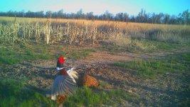 Rooster crowing - 041921.jpg