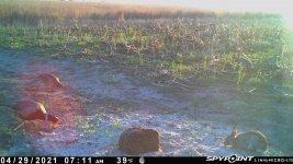 042921 - F1 - Rooster-2 Hens-Rabbit.jpg