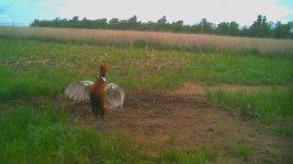 051921 - F19 - Crowing Rooster.jpg