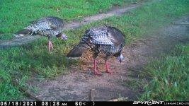 051821 - F18 - 2 Turkeys.jpg