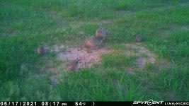 051721 - F15 - 2 Hens & 3 Quail.jpg
